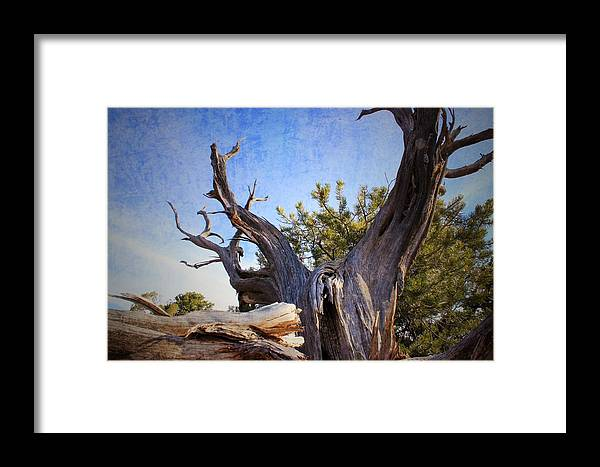 Pine Framed Print featuring the photograph Pine Relic by Louie Terra
