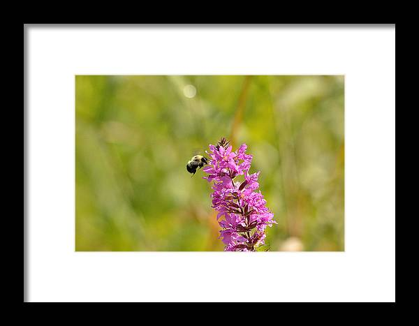 Bee Framed Print featuring the photograph Pink And Gold by David Porteus