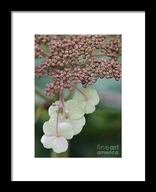 Hydrangea Framed Print featuring the photograph Pink And Green Hydrangea Closeup by Carol Groenen