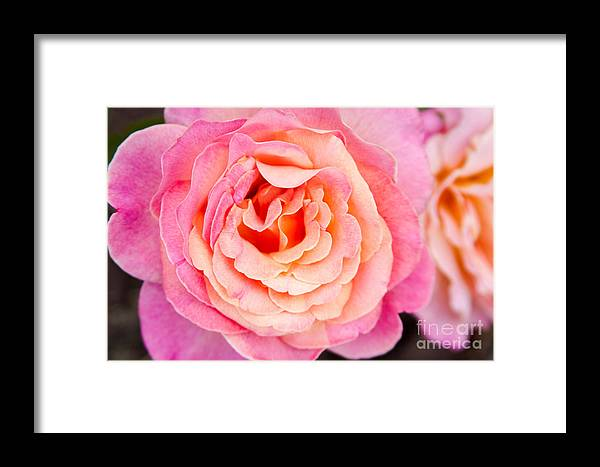 Flower Photograph Framed Print featuring the photograph Pink And Peach Rose Flower by Terri Morris