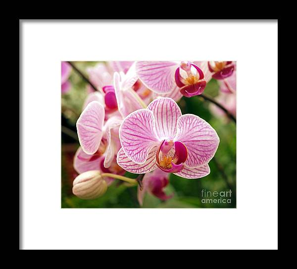 Orchid Framed Print featuring the photograph Pink And Purple Butterfly Orchids by Yali Shi