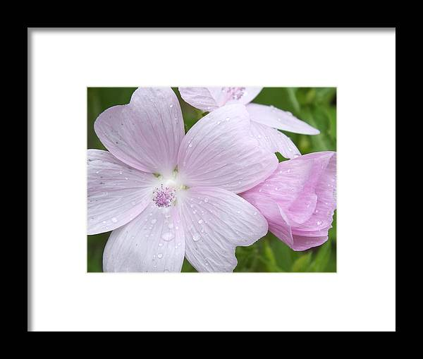 Flower Images Framed Print featuring the photograph Pink And Wet by Gene Cyr