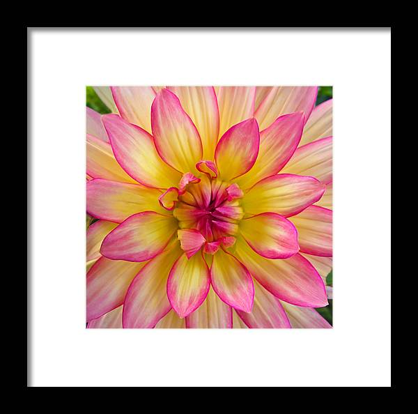 Dahlia Framed Print featuring the photograph Pink And Yellow Dahlia by Eva Kondzialkiewicz
