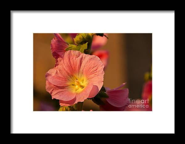 Alcea Framed Print featuring the photograph Pink And Yellow Hollyhock by Sue Smith