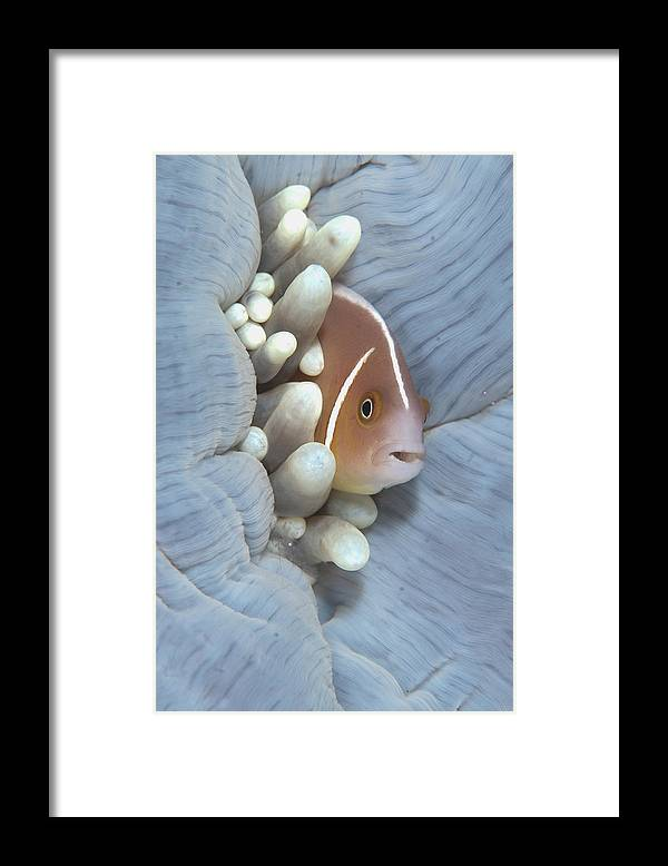 Flpa Framed Print featuring the photograph Pink Anemonefish In Magnificent Sea by Colin Marshall