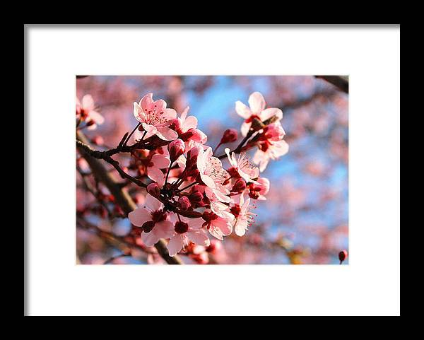 Cherry Blossom Framed Print featuring the photograph Pink Cherry Heaven by Candice Trimble