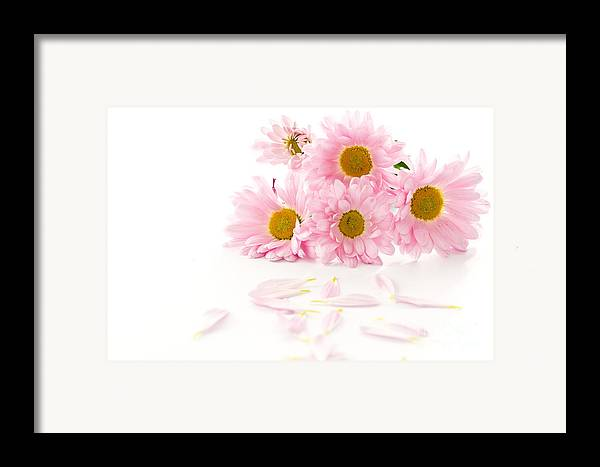 Pink Chrysanthemums Framed Print featuring the photograph Pink Chrysanthemums Beautiful by Boon Mee