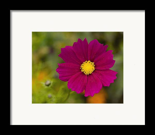 Pink Framed Print featuring the photograph Pink Cosmos 3 by Roger Snyder