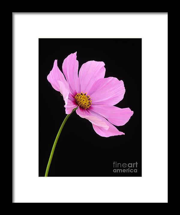 Pink Cosmos Flower On Black Background Framed Print By Rosemary Calvert