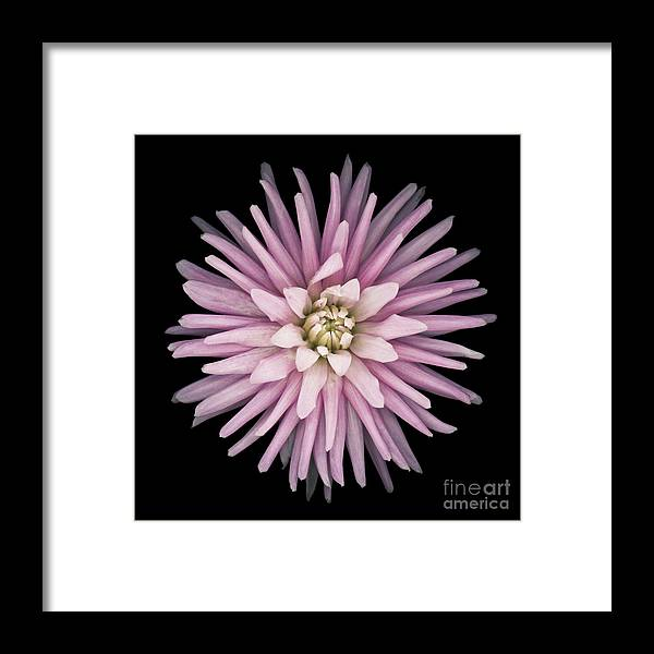 Beauty Framed Print featuring the photograph Pink Dahlia by Oscar Gutierrez