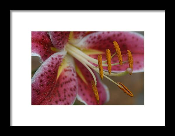 Closeup Of Pink Easter Lily. Framed Print featuring the photograph Pink Easter Lily by Colleen Keizer
