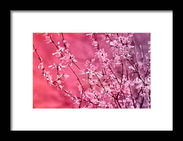 Pink Forsythia Framed Print By Pati Photography