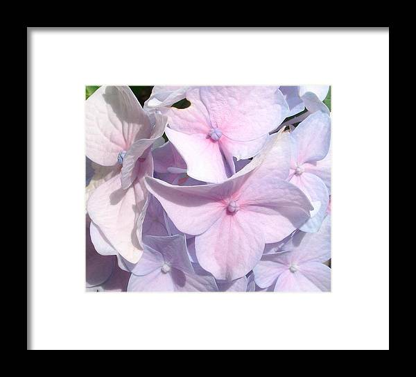 Pink Hydrangea Framed Print featuring the photograph Pink Hydrangea by Jennifer Dishon