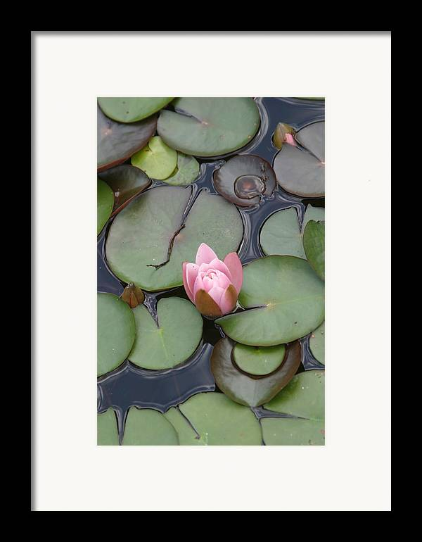 Lilly Framed Print featuring the photograph Pink Lilly by Dervent Wiltshire