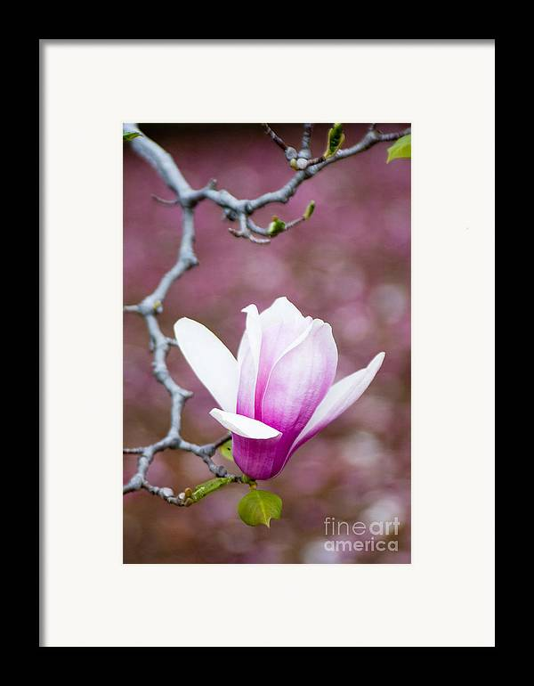 Background Framed Print featuring the photograph Pink Magnolia Flower by Oscar Gutierrez