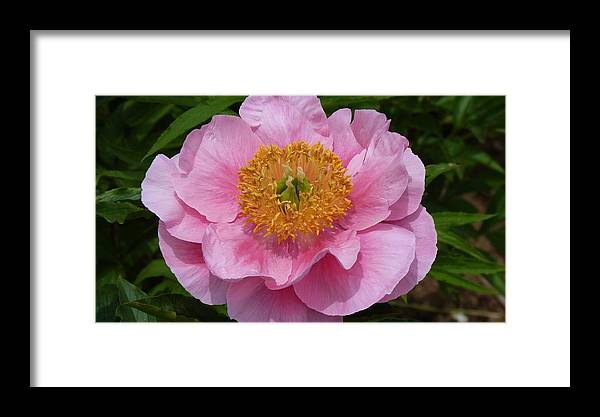 Flower Framed Print featuring the photograph Pink Poppy by Jeanette Oberholtzer
