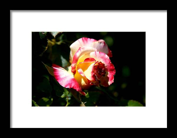 Beautiful Framed Print featuring the photograph Pink Rose by Becca Wilson