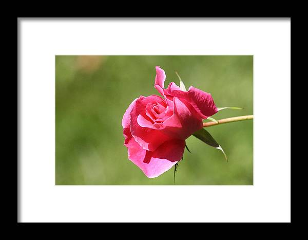 Rose Framed Print featuring the photograph Pink Rose Vintage by Sue Chisholm