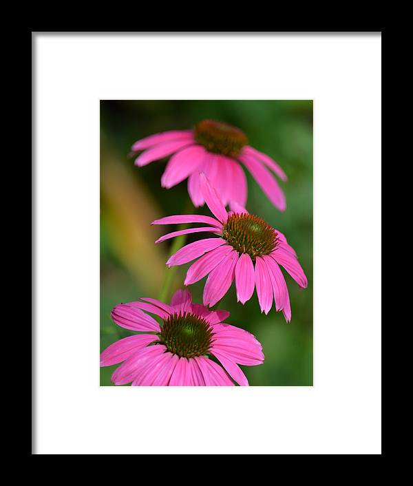 Pink Trifecta Framed Print featuring the photograph Pink Trifecta by Maria Urso
