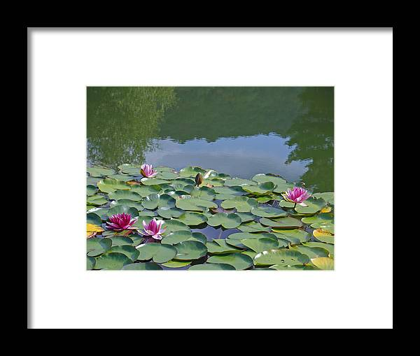 Waterlily Framed Print featuring the photograph Pink Waterlilies by Karen Kluglein