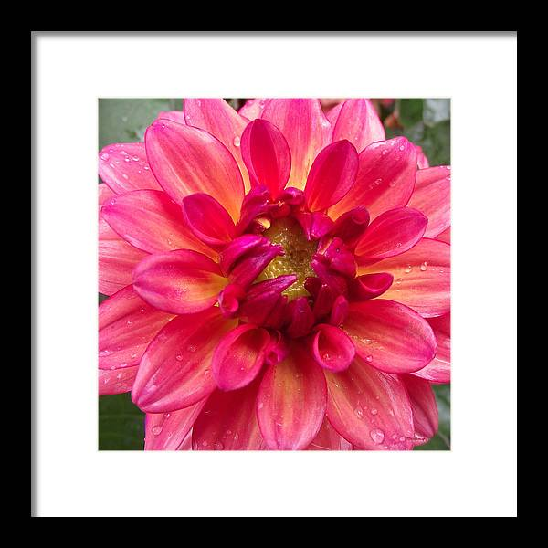 Duane Mccullough Framed Print featuring the photograph Pink Zinnia Flower Upclose by Duane McCullough
