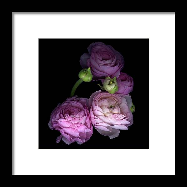Bud Framed Print featuring the photograph Pinkalicius Ranunculus... Pink For by Photograph By Magda Indigo