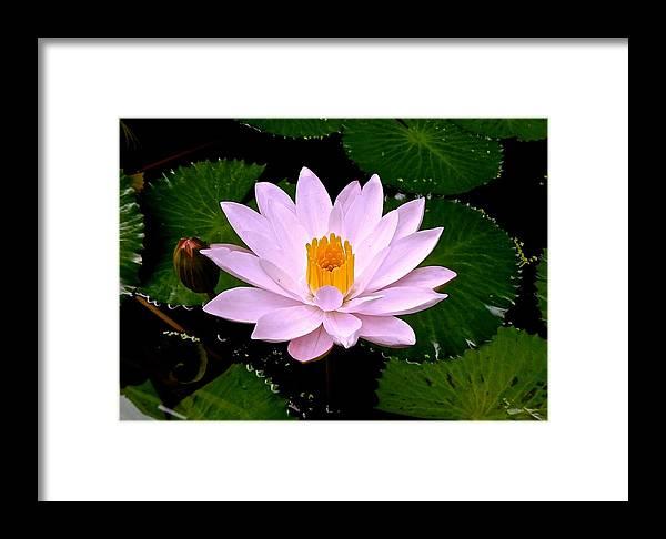 Lotus Framed Print featuring the photograph Pinkish Lotus Flower by Joe Wyman