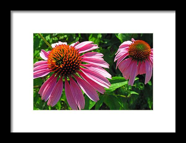 Floral Framed Print featuring the photograph Pinks by Barbara McDevitt