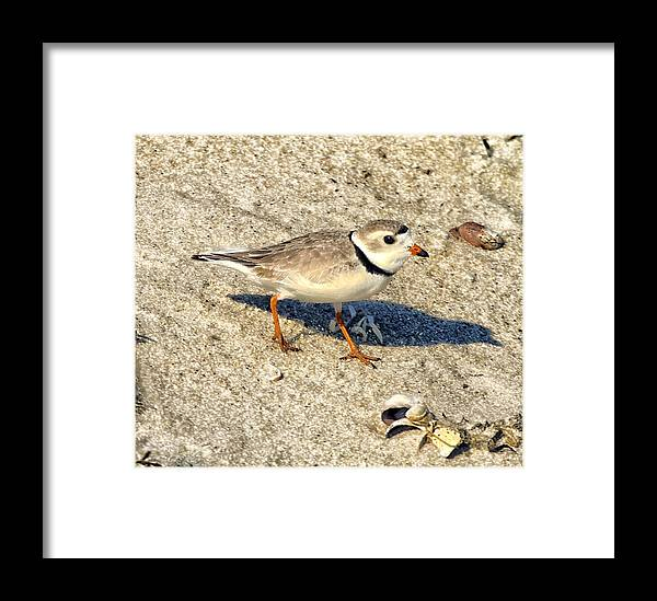 Piping Plover Framed Print featuring the photograph Piping Plover by Constantine Gregory