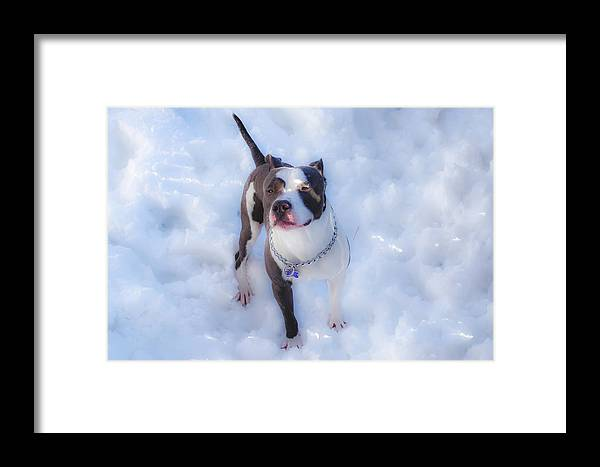 Pitbull Framed Print featuring the photograph Playing In The Snow by Carlos Negron