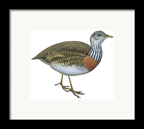 No People; Horizontal; Side View; Full Length; White Background; Standing; One Animal; Animal Themes; Nature; Wildlife; Beauty In Nature; Illustration And Painting; Plains Wanderer; Pedionomus Torquatus Framed Print featuring the drawing Plains Wanderer by Anonymous