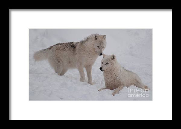 Arctic Wolf Framed Print featuring the photograph Play Time by Bianca Nadeau
