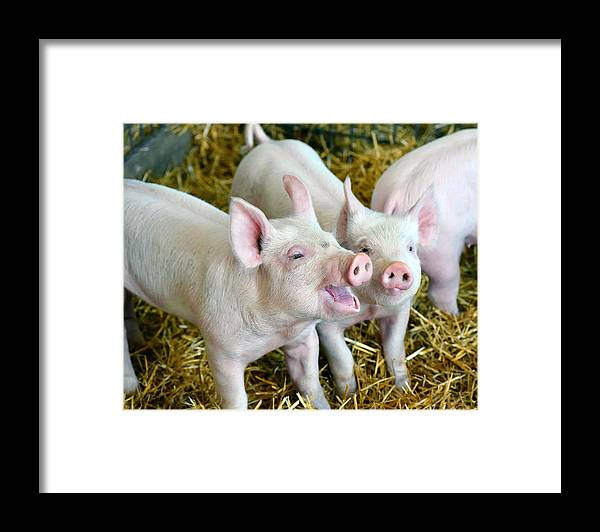 Pig Framed Print featuring the photograph Playful Piggies by Colette222