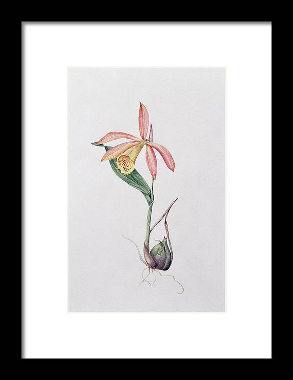 Orchid Framed Print featuring the painting Pleione Zeus Wildstein by Mary Kenyon-Slaney