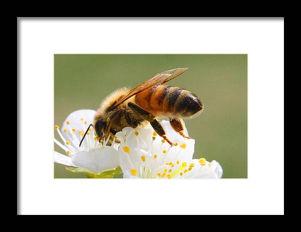 Flower Framed Print featuring the photograph Plum Full Of Bees by Kathryn Meyer