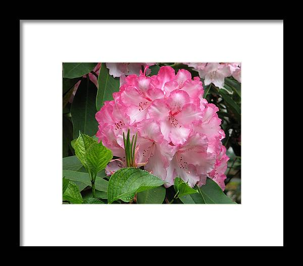 Rhododendron Bush Framed Print featuring the photograph Point Defiance Truss by Chris Anderson