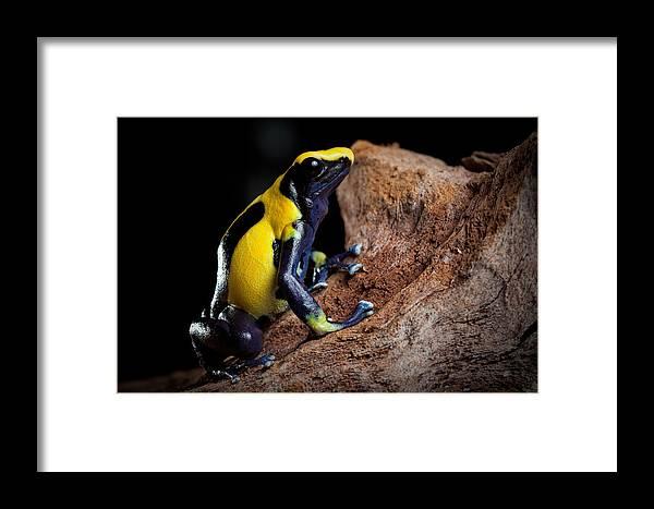 Guyana Framed Print featuring the photograph Poison Dart Frog by Dirk Ercken