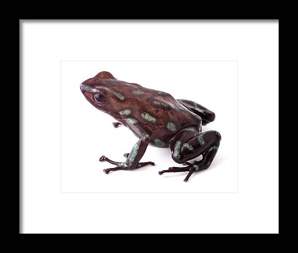 Amphibian Framed Print featuring the photograph poison dart frog Panama by Dirk Ercken