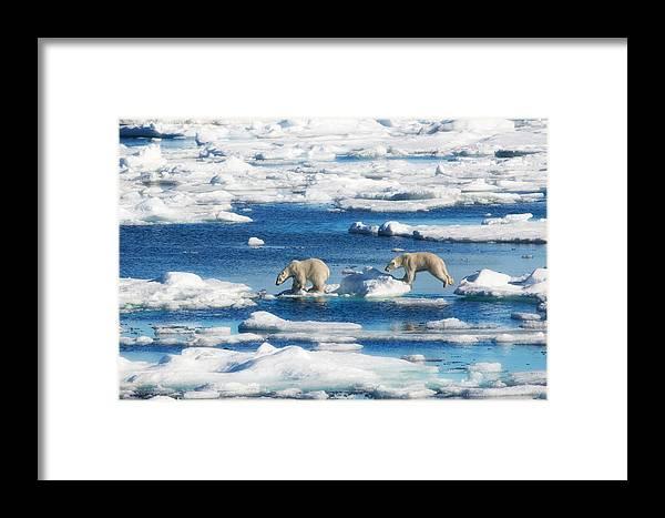 Polar Bears Framed Print featuring the photograph Polar Bear Cubs In Svalbard by June Jacobsen