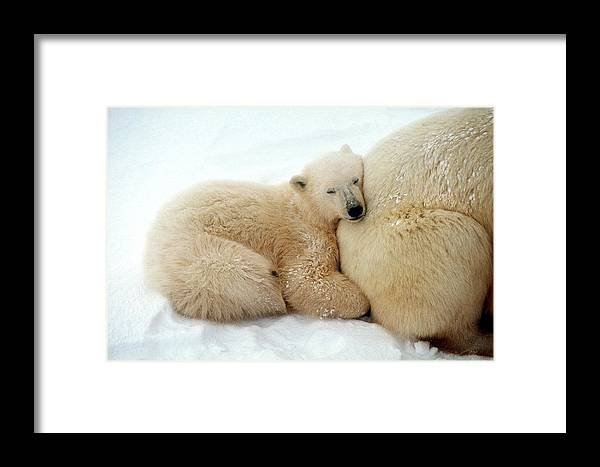 Animal Family Framed Print featuring the photograph Polar Bear Mother & Cub by Dan Guravich