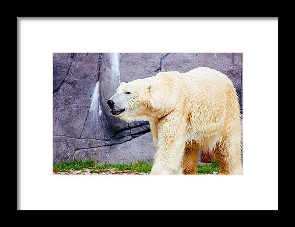 Arctic Framed Print featuring the photograph Polar Bear Walking by Pati Photography