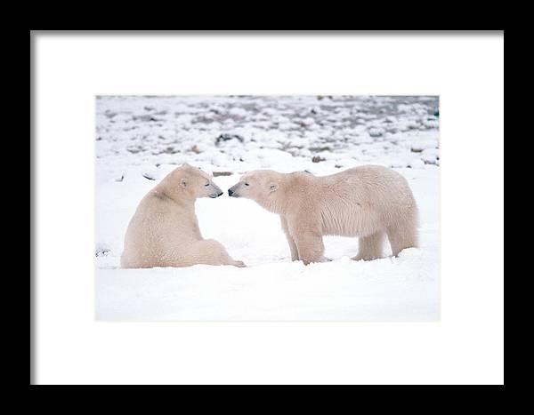 Animal Framed Print featuring the photograph Polar Bears Introducing Themselves by Dan Guravich