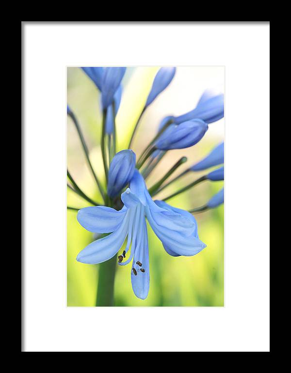Arrangement Framed Print featuring the photograph Pollen Of Purple Blue Flower by Auttapon Moonsawad
