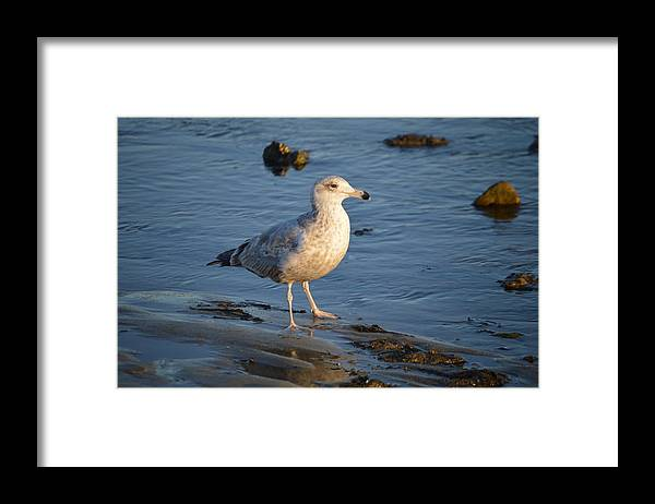 Herring Gull Framed Print featuring the photograph Pondering by Jessica Cruz