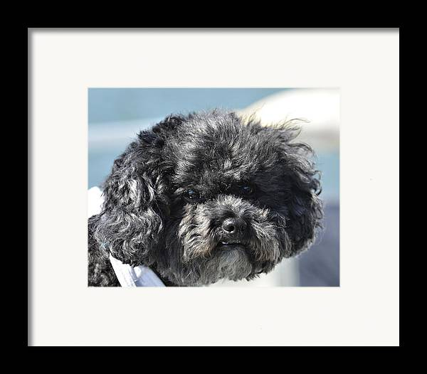 Animal Framed Print featuring the photograph Poodle by Susan Leggett