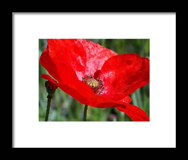 Poppy Framed Print featuring the photograph Poppy by Chris Cox