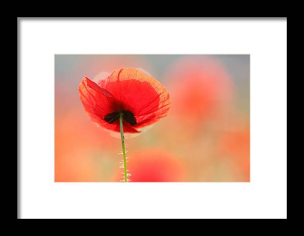 Bokeh Framed Print featuring the photograph Poppy Dream by Roeselien Raimond