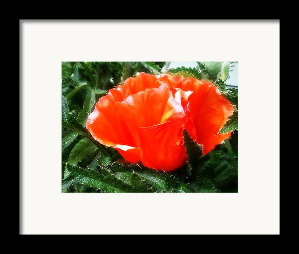 Large Framed Print featuring the photograph Poppy Flower by Heather L Wright