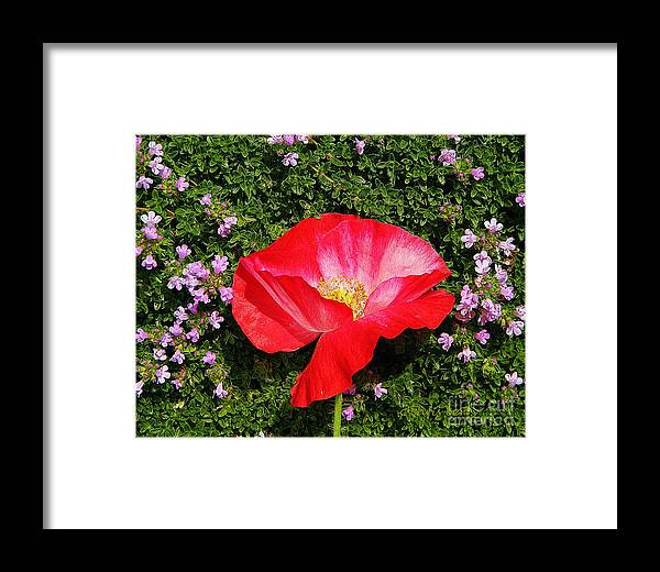 Nature Framed Print featuring the photograph Poppy On Thyme by Chris Berry