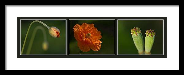 Poppies Framed Print featuring the photograph Poppy Triptych by Pete Hemington